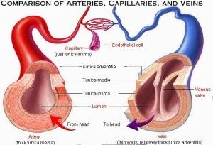Apa-Perbedaan-Arteri-dan-Vena