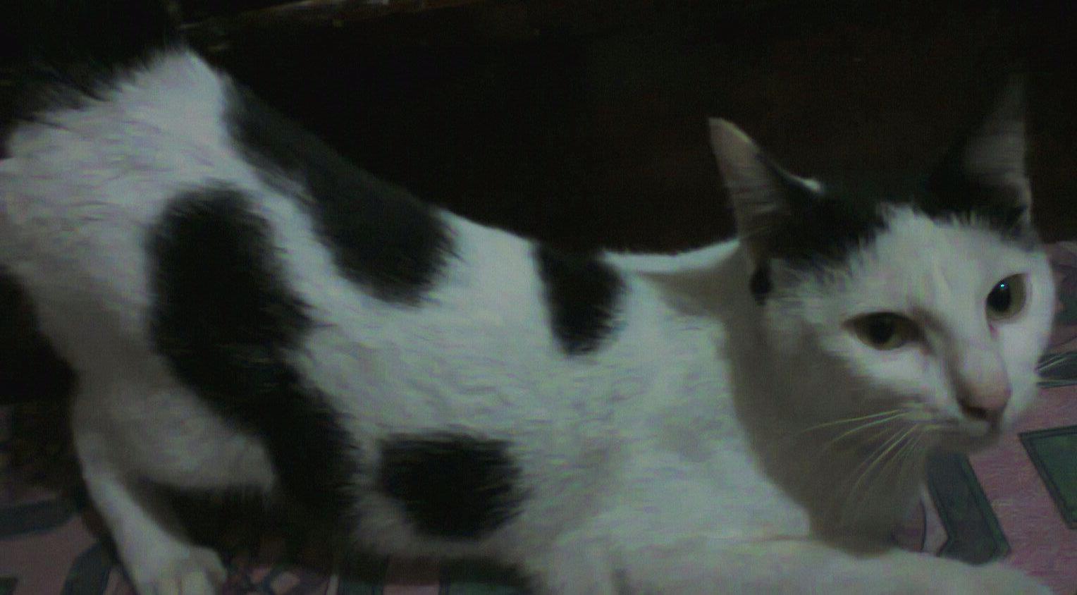 Fakta Kucing Normawebid