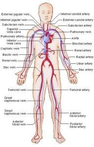 siklus peredaran darah